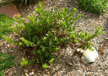 Panchito Manzanita Arctostaphylos x coloradoensis
