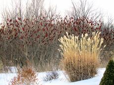 ornamental grasses winter interest