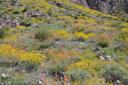 native desert landscaping wildflowers