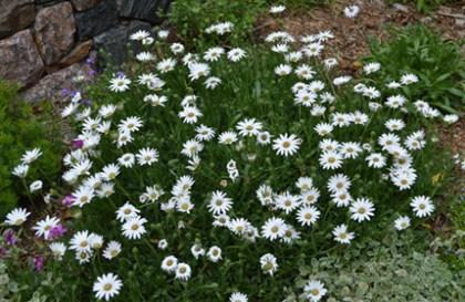 Osteospermum-Avalanche White Sun Daisy