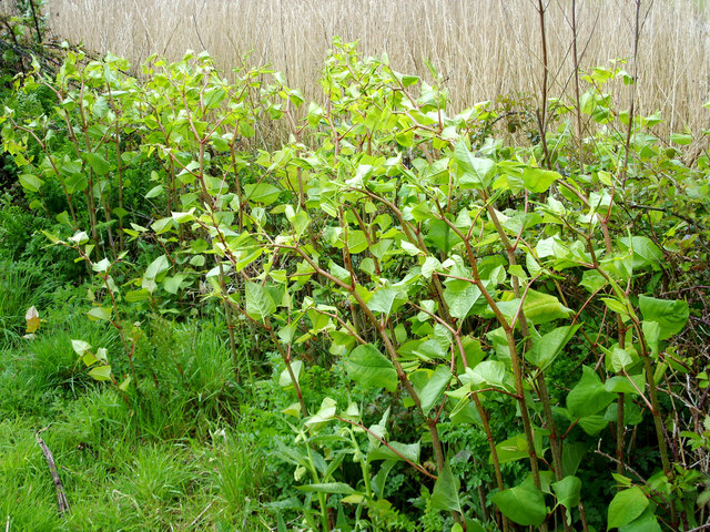 Japanese knotweed along a wall