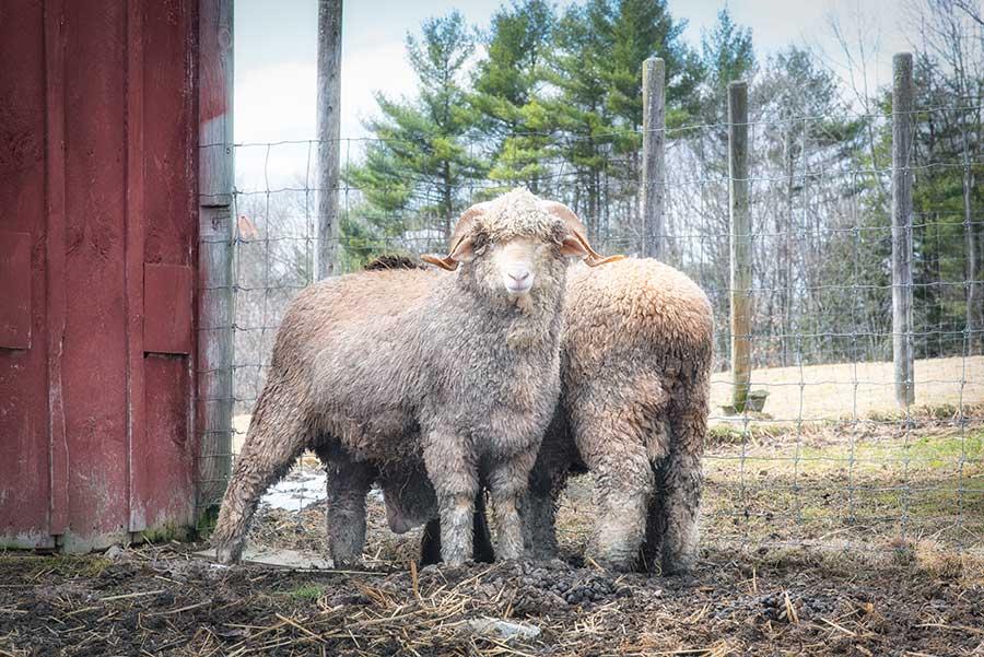 Merino Sheep by Gale Zucker for Louet North America