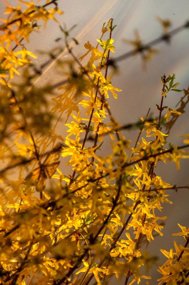 Forsythia-photos-6620