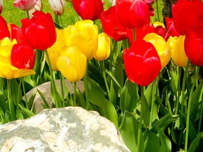 mt-laurel-tulips-photos-0765