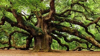 angel-oak-trees-photos-fine-art-america