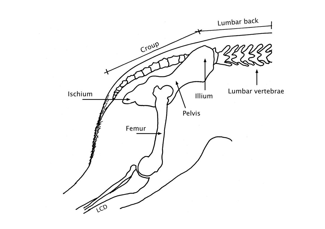 The Evolutionary Development Of The German Shepherd Dog