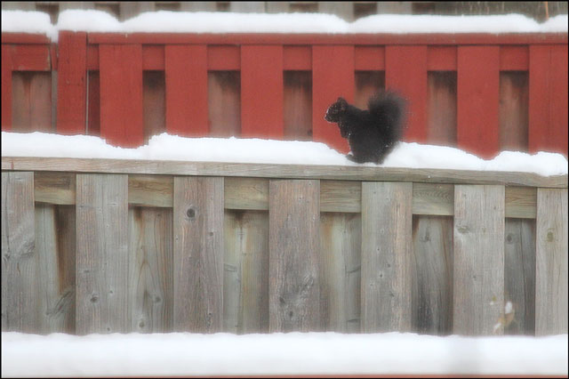 squirrel-in-the-snow