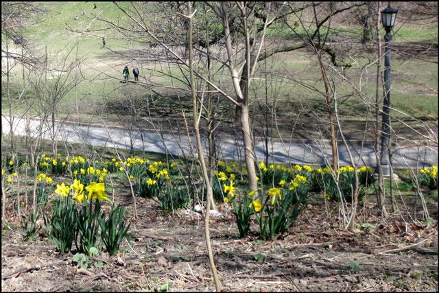 daffodil-drift-in-the-park