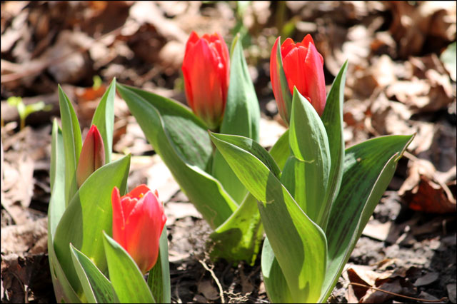 early-tulips-2