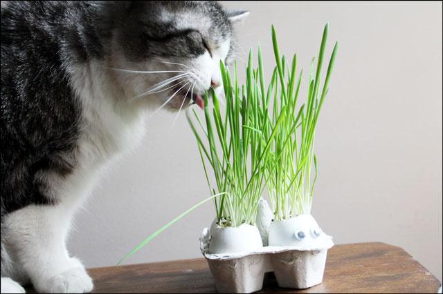 ed eating cat grass grown in eggshells