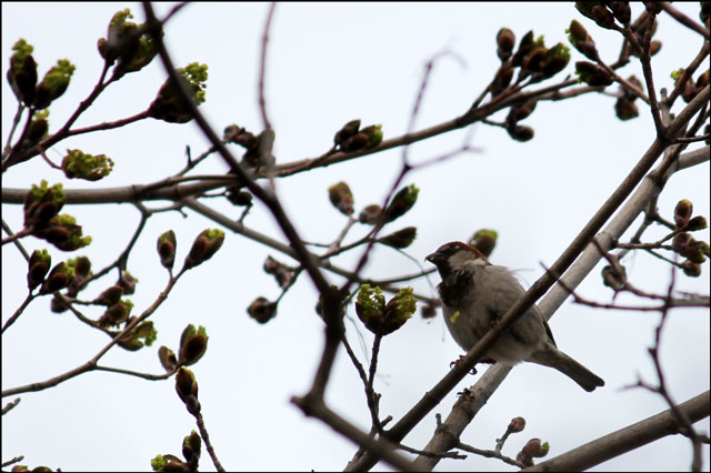 sparrow-eating-maple-buds