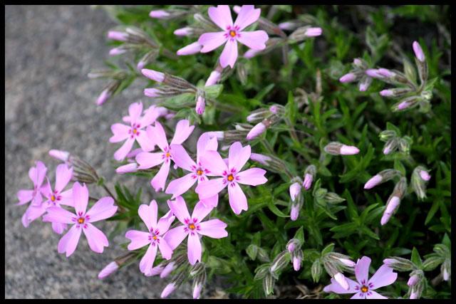 pink-phlox