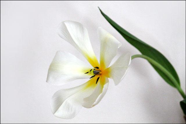 tulip-in-vase-08