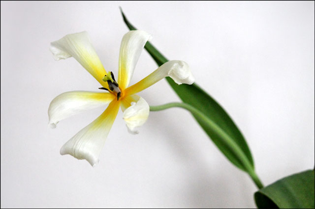 tulip-in-vase-09