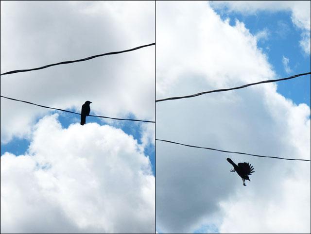 black-bird-on-a-wire