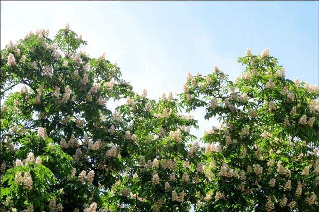 chestnut-tree-in-flower