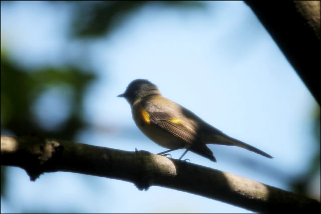 flycatcher-in-toronto