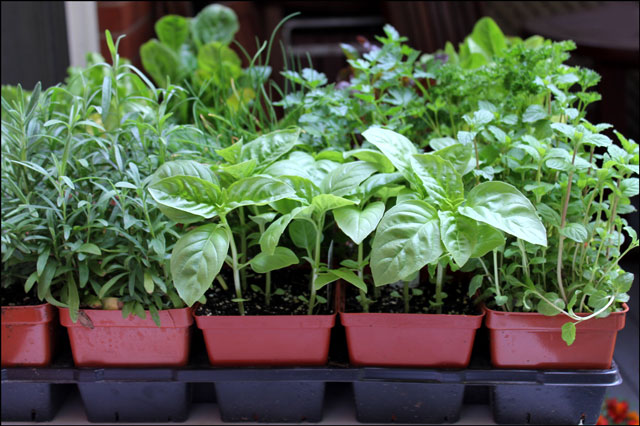 herbs-ready-to-repot