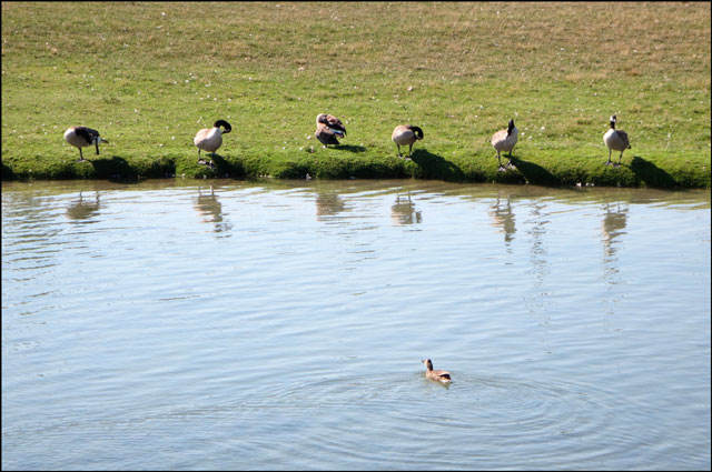 geese-and-duck
