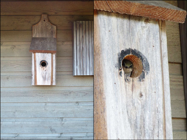 nesting-swallow