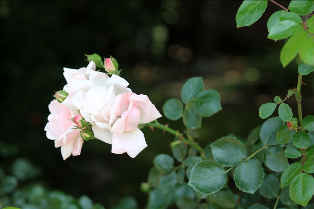 pale-pink-rambling-rose