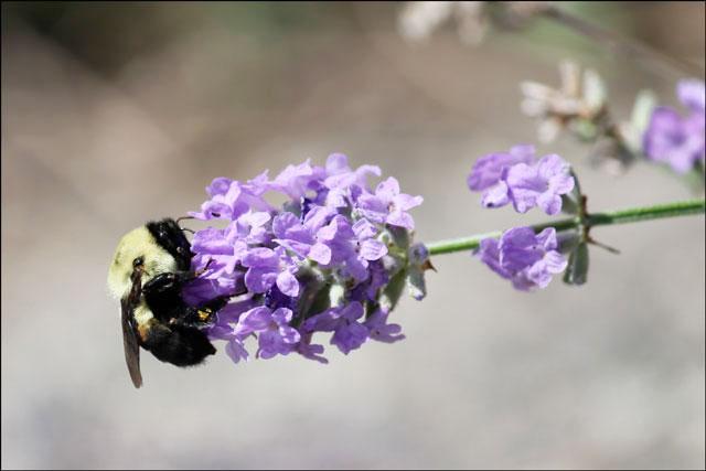 bee-on-lavender-3