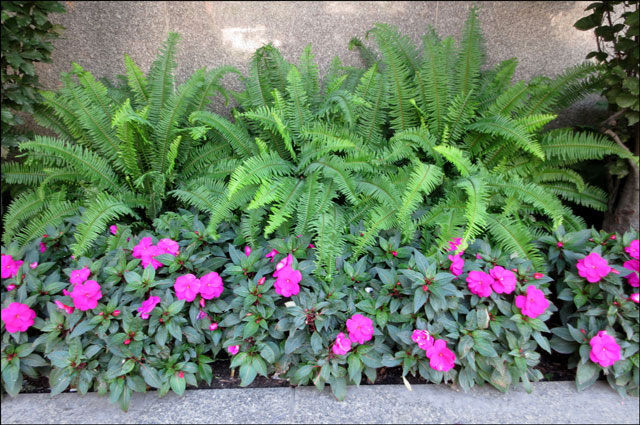 impatiens-and-ferns