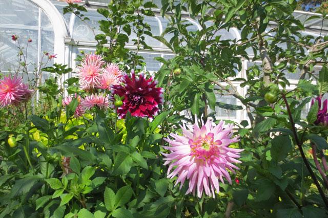 dahlias-allan-gardens