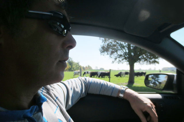 driving-with-cows