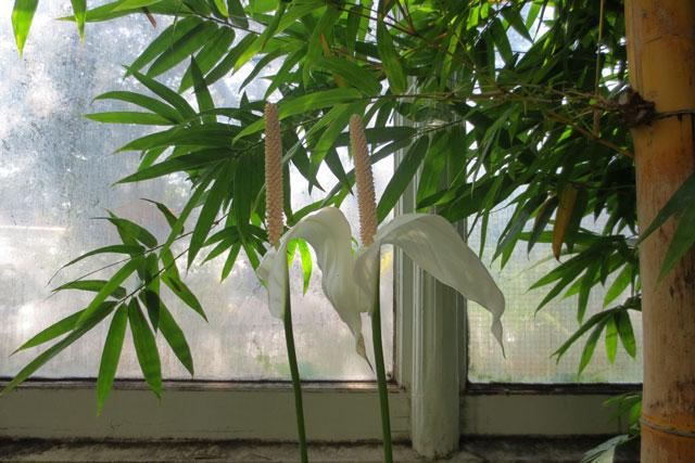 white-lilies-allan-gardens