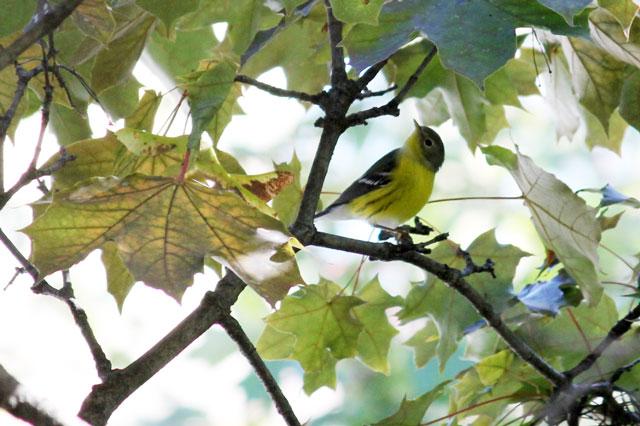 yellow-bellied-flycatcher-fall-visit-toronto