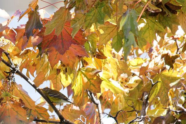 yellow-bellied-flycatcher-in-tree