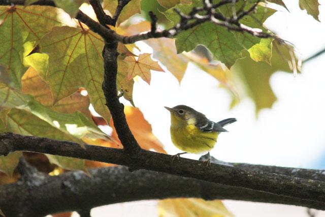 yellow-bellied-flycatcher-toronto