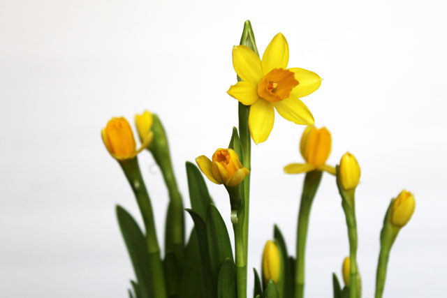 mini-daffs-4th-day