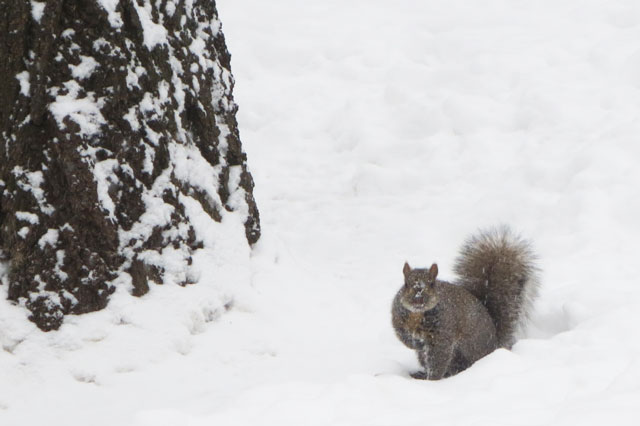 squirrel-in-the-snow-3