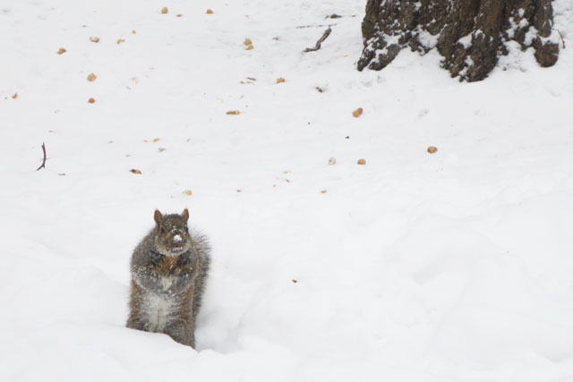 squirrel-in-the-snow-with-peanuts-2