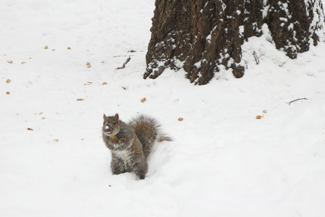 squirrel-in-the-snow-with-peanuts-3