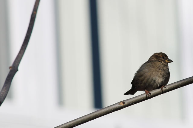 baby-sparrow
