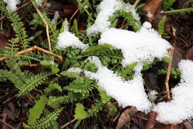 yarrow-in-the-snow