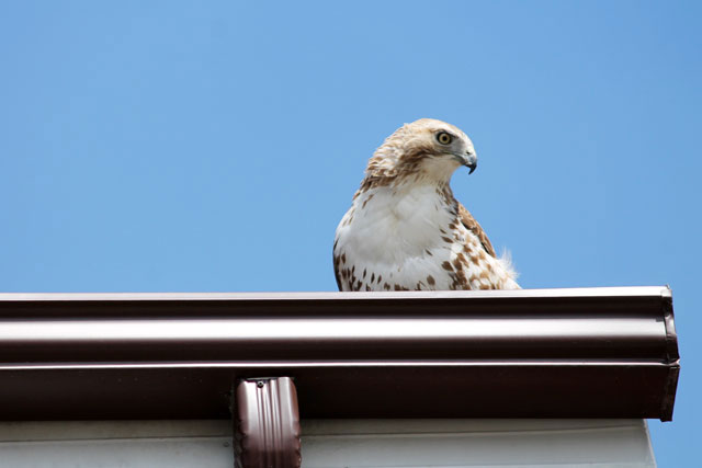 hawk-04-toronto-may-2014