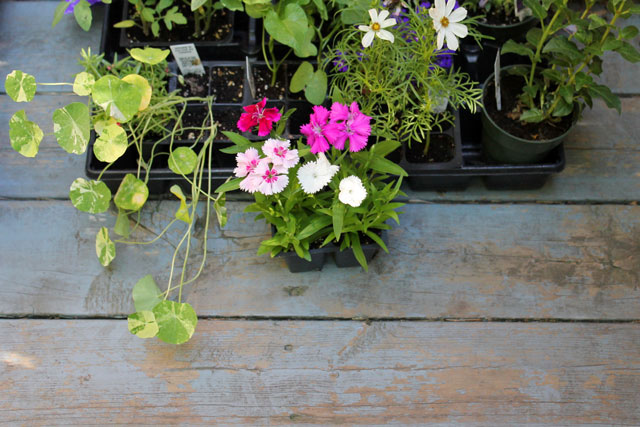 flowers-for-deck-and-garden