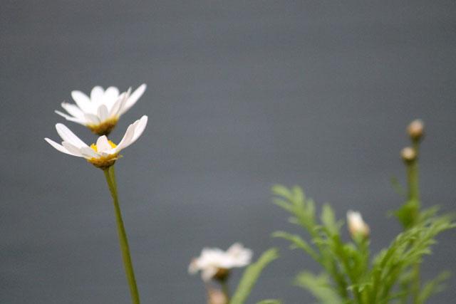 marguerite-daisy-02
