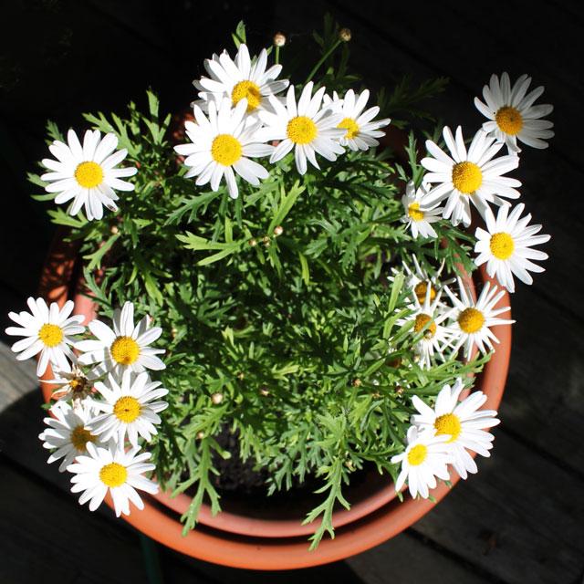 marguerite-daisy