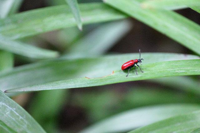scarlet-lily-beatle-toronto-2014