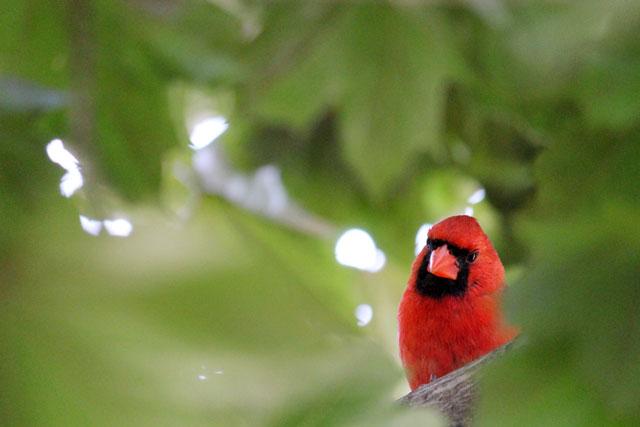 male-cardinal-toronto-2014-01