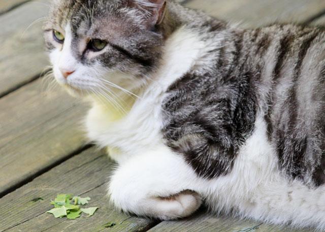 eddie-with-catnip-leaf-02