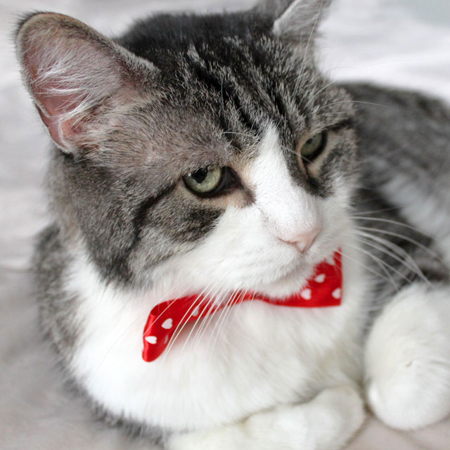 eddie-cat-with-a-bowtie-hearts