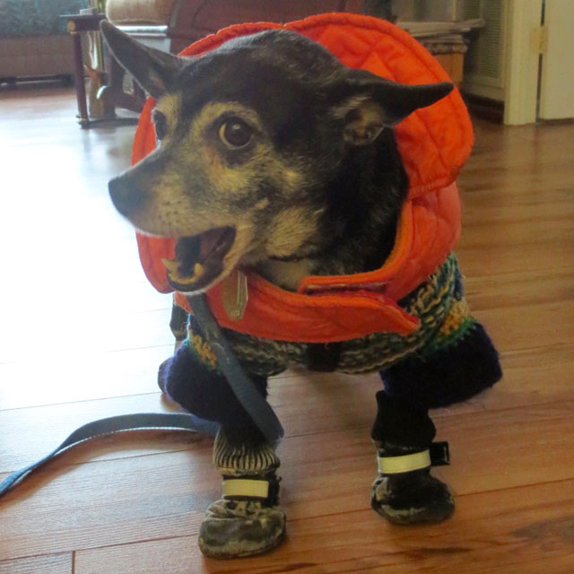 kiki-dog-in-winter-sweater-jacket-and-boots