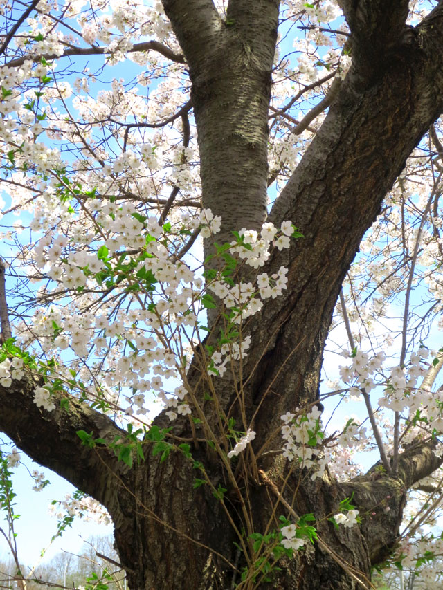 cherry-blossom-tree-in-high-park