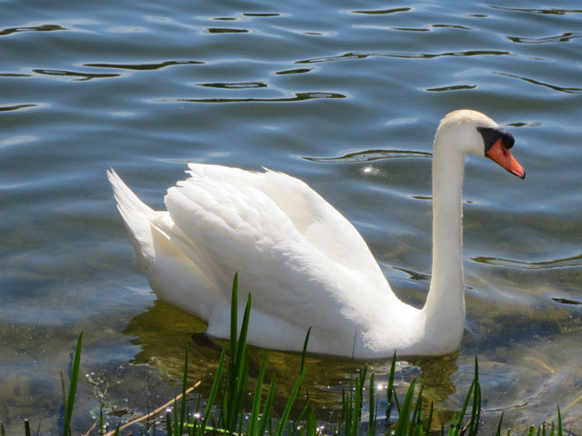 mute-swan-high-park-toronto